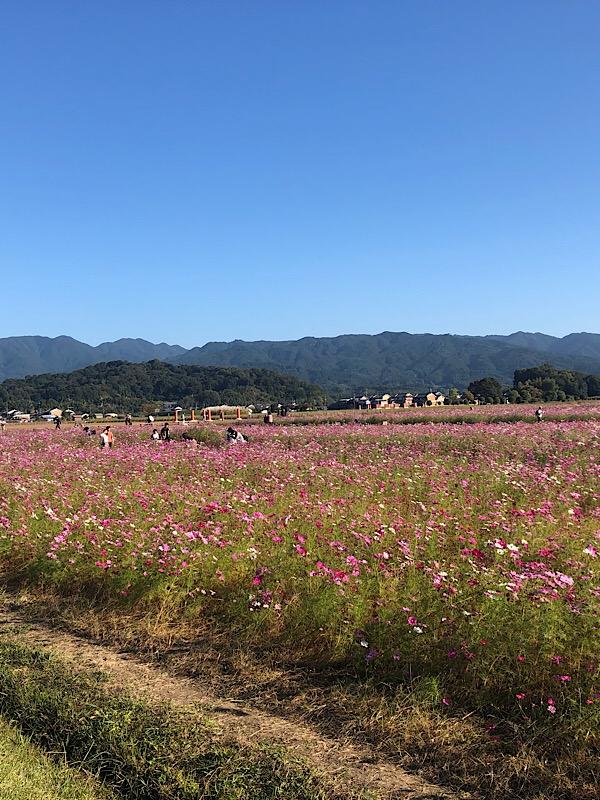 藤原京でコスモス満開です。